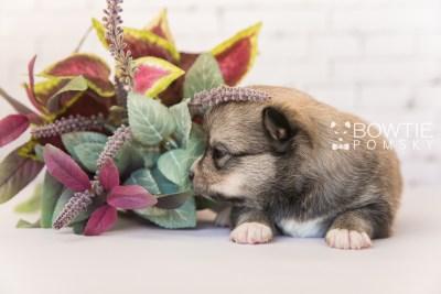 puppy99 week3 BowTiePomsky.com Bowtie Pomsky Puppy For Sale Husky Pomeranian Mini Dog Spokane WA Breeder Blue Eyes Pomskies Celebrity Puppy web4
