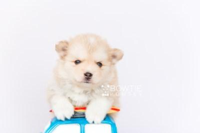puppy100 week5 BowTiePomsky.com Bowtie Pomsky Puppy For Sale Husky Pomeranian Mini Dog Spokane WA Breeder Blue Eyes Pomskies Celebrity Puppy web2