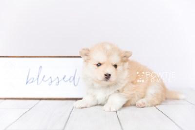 puppy100 week5 BowTiePomsky.com Bowtie Pomsky Puppy For Sale Husky Pomeranian Mini Dog Spokane WA Breeder Blue Eyes Pomskies Celebrity Puppy web3