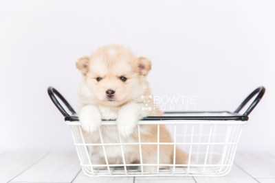 puppy100 week5 BowTiePomsky.com Bowtie Pomsky Puppy For Sale Husky Pomeranian Mini Dog Spokane WA Breeder Blue Eyes Pomskies Celebrity Puppy web4