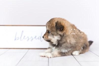 puppy101 week5 BowTiePomsky.com Bowtie Pomsky Puppy For Sale Husky Pomeranian Mini Dog Spokane WA Breeder Blue Eyes Pomskies Celebrity Puppy web5