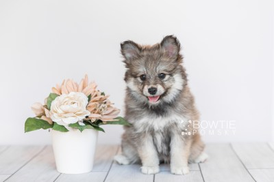 puppy101 week7 BowTiePomsky.com Bowtie Pomsky Puppy For Sale Husky Pomeranian Mini Dog Spokane WA Breeder Blue Eyes Pomskies Celebrity Puppy web3
