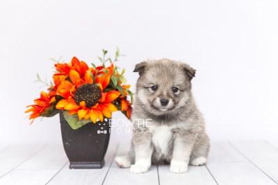 puppy102 week5 BowTiePomsky.com Bowtie Pomsky Puppy For Sale Husky Pomeranian Mini Dog Spokane WA Breeder Blue Eyes Pomskies Celebrity Puppy web1