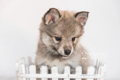 puppy102 week7 BowTiePomsky.com Bowtie Pomsky Puppy For Sale Husky Pomeranian Mini Dog Spokane WA Breeder Blue Eyes Pomskies Celebrity Puppy web2