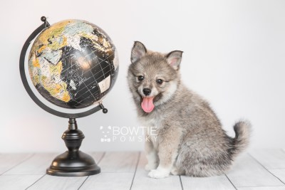 puppy102 week7 BowTiePomsky.com Bowtie Pomsky Puppy For Sale Husky Pomeranian Mini Dog Spokane WA Breeder Blue Eyes Pomskies Celebrity Puppy web4