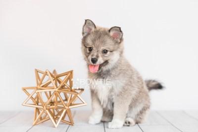 puppy102 week7 BowTiePomsky.com Bowtie Pomsky Puppy For Sale Husky Pomeranian Mini Dog Spokane WA Breeder Blue Eyes Pomskies Celebrity Puppy web5