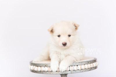 puppy103 week5 BowTiePomsky.com Bowtie Pomsky Puppy For Sale Husky Pomeranian Mini Dog Spokane WA Breeder Blue Eyes Pomskies Celebrity Puppy web3