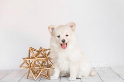 puppy103 week7 BowTiePomsky.com Bowtie Pomsky Puppy For Sale Husky Pomeranian Mini Dog Spokane WA Breeder Blue Eyes Pomskies Celebrity Puppy web3