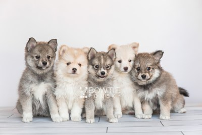 puppy99-103 week7 BowTiePomsky.com Bowtie Pomsky Puppy For Sale Husky Pomeranian Mini Dog Spokane WA Breeder Blue Eyes Pomskies Celebrity Puppy web1