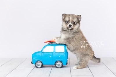 puppy99 week5 BowTiePomsky.com Bowtie Pomsky Puppy For Sale Husky Pomeranian Mini Dog Spokane WA Breeder Blue Eyes Pomskies Celebrity Puppy web3