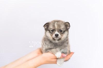puppy99 week5 BowTiePomsky.com Bowtie Pomsky Puppy For Sale Husky Pomeranian Mini Dog Spokane WA Breeder Blue Eyes Pomskies Celebrity Puppy web6