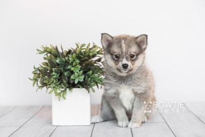 puppy99 week7 BowTiePomsky.com Bowtie Pomsky Puppy For Sale Husky Pomeranian Mini Dog Spokane WA Breeder Blue Eyes Pomskies Celebrity Puppy web1