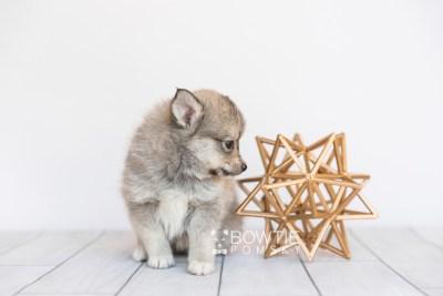 puppy99 week7 BowTiePomsky.com Bowtie Pomsky Puppy For Sale Husky Pomeranian Mini Dog Spokane WA Breeder Blue Eyes Pomskies Celebrity Puppy web3