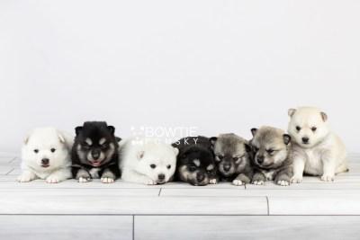 puppy104-110 week3 BowTiePomsky.com Bowtie Pomsky Puppy For Sale Husky Pomeranian Mini Dog Spokane WA Breeder Blue Eyes Pomskies Celebrity Puppy web1