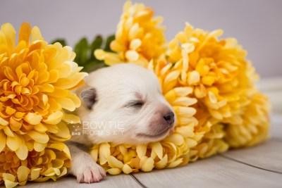 puppy104 week1 BowTiePomsky.com Bowtie Pomsky Puppy For Sale Husky Pomeranian Mini Dog Spokane WA Breeder Blue Eyes Pomskies Celebrity Puppy web1