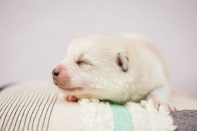 puppy104 week1 BowTiePomsky.com Bowtie Pomsky Puppy For Sale Husky Pomeranian Mini Dog Spokane WA Breeder Blue Eyes Pomskies Celebrity Puppy web2