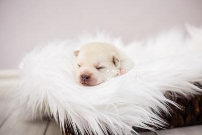 puppy104 week1 BowTiePomsky.com Bowtie Pomsky Puppy For Sale Husky Pomeranian Mini Dog Spokane WA Breeder Blue Eyes Pomskies Celebrity Puppy web8
