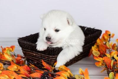 puppy104 week3 BowTiePomsky.com Bowtie Pomsky Puppy For Sale Husky Pomeranian Mini Dog Spokane WA Breeder Blue Eyes Pomskies Celebrity Puppy web2