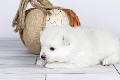 puppy104 week3 BowTiePomsky.com Bowtie Pomsky Puppy For Sale Husky Pomeranian Mini Dog Spokane WA Breeder Blue Eyes Pomskies Celebrity Puppy web5