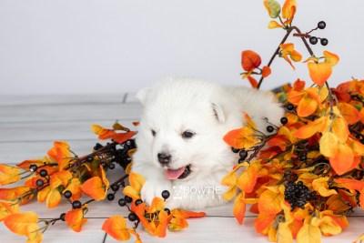 puppy104 week3 BowTiePomsky.com Bowtie Pomsky Puppy For Sale Husky Pomeranian Mini Dog Spokane WA Breeder Blue Eyes Pomskies Celebrity Puppy web6