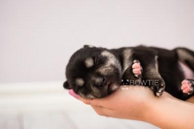 puppy105 week1 BowTiePomsky.com Bowtie Pomsky Puppy For Sale Husky Pomeranian Mini Dog Spokane WA Breeder Blue Eyes Pomskies Celebrity Puppy web1