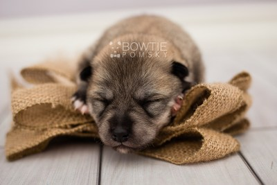 puppy106 week1 BowTiePomsky.com Bowtie Pomsky Puppy For Sale Husky Pomeranian Mini Dog Spokane WA Breeder Blue Eyes Pomskies Celebrity Puppy web3