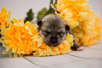 puppy106 week1 BowTiePomsky.com Bowtie Pomsky Puppy For Sale Husky Pomeranian Mini Dog Spokane WA Breeder Blue Eyes Pomskies Celebrity Puppy web4