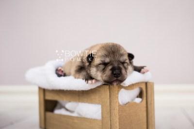 puppy106 week1 BowTiePomsky.com Bowtie Pomsky Puppy For Sale Husky Pomeranian Mini Dog Spokane WA Breeder Blue Eyes Pomskies Celebrity Puppy web6