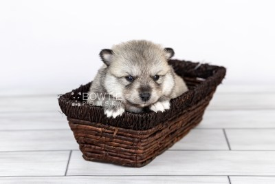 puppy106 week3 BowTiePomsky.com Bowtie Pomsky Puppy For Sale Husky Pomeranian Mini Dog Spokane WA Breeder Blue Eyes Pomskies Celebrity Puppy web5