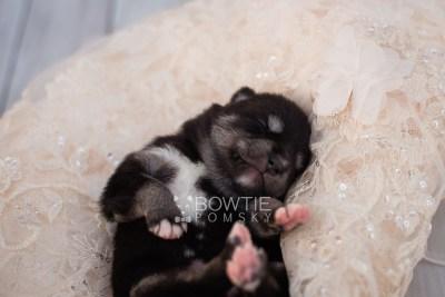 puppy107 week1 BowTiePomsky.com Bowtie Pomsky Puppy For Sale Husky Pomeranian Mini Dog Spokane WA Breeder Blue Eyes Pomskies Celebrity Puppy web3