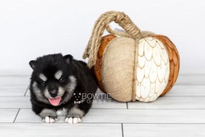 puppy107 week3 BowTiePomsky.com Bowtie Pomsky Puppy For Sale Husky Pomeranian Mini Dog Spokane WA Breeder Blue Eyes Pomskies Celebrity Puppy web3