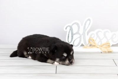 puppy107 week3 BowTiePomsky.com Bowtie Pomsky Puppy For Sale Husky Pomeranian Mini Dog Spokane WA Breeder Blue Eyes Pomskies Celebrity Puppy web5