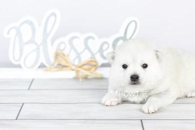 puppy108 week3 BowTiePomsky.com Bowtie Pomsky Puppy For Sale Husky Pomeranian Mini Dog Spokane WA Breeder Blue Eyes Pomskies Celebrity Puppy web6