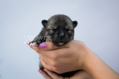 puppy109 week1 BowTiePomsky.com Bowtie Pomsky Puppy For Sale Husky Pomeranian Mini Dog Spokane WA Breeder Blue Eyes Pomskies Celebrity Puppy web4