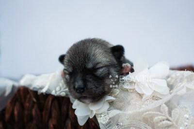 puppy109 week1 BowTiePomsky.com Bowtie Pomsky Puppy For Sale Husky Pomeranian Mini Dog Spokane WA Breeder Blue Eyes Pomskies Celebrity Puppy web5
