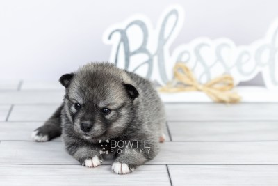puppy109 week3 BowTiePomsky.com Bowtie Pomsky Puppy For Sale Husky Pomeranian Mini Dog Spokane WA Breeder Blue Eyes Pomskies Celebrity Puppy web2