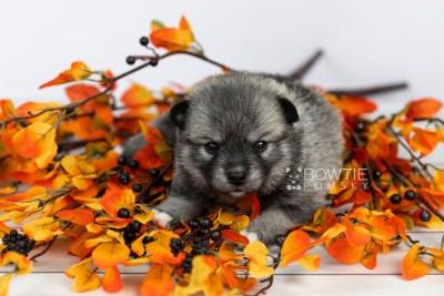 puppy109 week3 BowTiePomsky.com Bowtie Pomsky Puppy For Sale Husky Pomeranian Mini Dog Spokane WA Breeder Blue Eyes Pomskies Celebrity Puppy web6