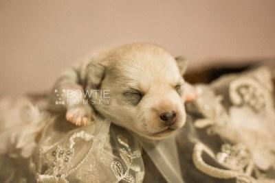 puppy110 week1 BowTiePomsky.com Bowtie Pomsky Puppy For Sale Husky Pomeranian Mini Dog Spokane WA Breeder Blue Eyes Pomskies Celebrity Puppy web2