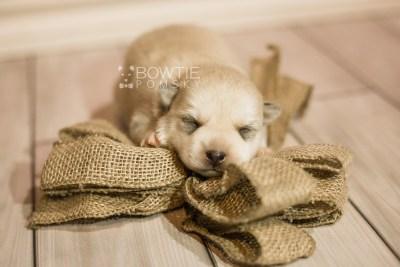 puppy110 week1 BowTiePomsky.com Bowtie Pomsky Puppy For Sale Husky Pomeranian Mini Dog Spokane WA Breeder Blue Eyes Pomskies Celebrity Puppy web5