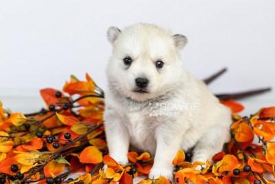 puppy110 week3 BowTiePomsky.com Bowtie Pomsky Puppy For Sale Husky Pomeranian Mini Dog Spokane WA Breeder Blue Eyes Pomskies Celebrity Puppy web1