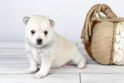 puppy110 week3 BowTiePomsky.com Bowtie Pomsky Puppy For Sale Husky Pomeranian Mini Dog Spokane WA Breeder Blue Eyes Pomskies Celebrity Puppy web3