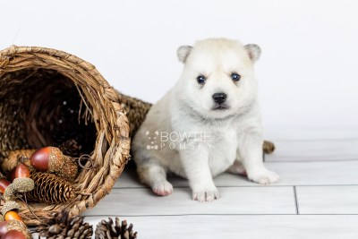 puppy110 week3 BowTiePomsky.com Bowtie Pomsky Puppy For Sale Husky Pomeranian Mini Dog Spokane WA Breeder Blue Eyes Pomskies Celebrity Puppy web4