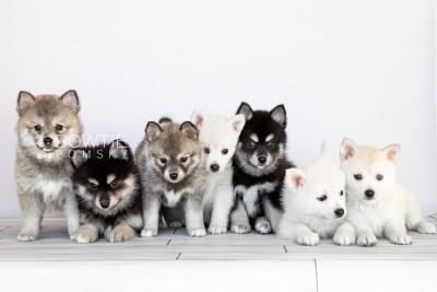puppy104-110 week7 BowTiePomsky.com Bowtie Pomsky Puppy For Sale Husky Pomeranian Mini Dog Spokane WA Breeder Blue Eyes Pomskies Celebrity Puppy web1