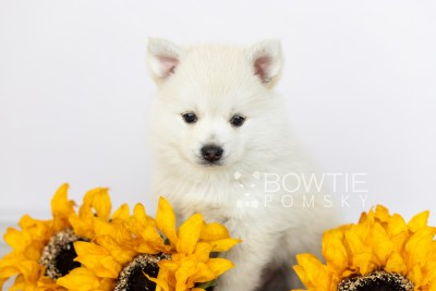 puppy104 week5 BowTiePomsky.com Bowtie Pomsky Puppy For Sale Husky Pomeranian Mini Dog Spokane WA Breeder Blue Eyes Pomskies Celebrity Puppy web2