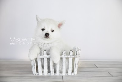 puppy104 week7 BowTiePomsky.com Bowtie Pomsky Puppy For Sale Husky Pomeranian Mini Dog Spokane WA Breeder Blue Eyes Pomskies Celebrity Puppy web2
