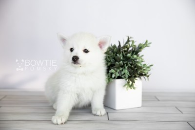 puppy104 week7 BowTiePomsky.com Bowtie Pomsky Puppy For Sale Husky Pomeranian Mini Dog Spokane WA Breeder Blue Eyes Pomskies Celebrity Puppy web3