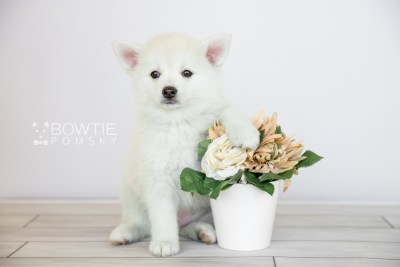 puppy104 week7 BowTiePomsky.com Bowtie Pomsky Puppy For Sale Husky Pomeranian Mini Dog Spokane WA Breeder Blue Eyes Pomskies Celebrity Puppy web6