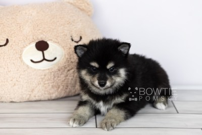 puppy105 week5 BowTiePomsky.com Bowtie Pomsky Puppy For Sale Husky Pomeranian Mini Dog Spokane WA Breeder Blue Eyes Pomskies Celebrity Puppy web1