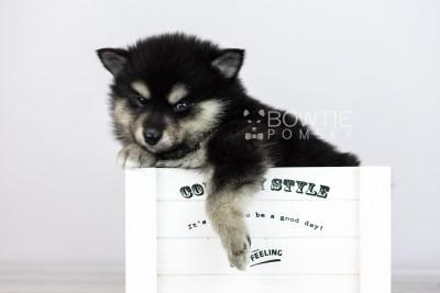 puppy105 week5 BowTiePomsky.com Bowtie Pomsky Puppy For Sale Husky Pomeranian Mini Dog Spokane WA Breeder Blue Eyes Pomskies Celebrity Puppy web5