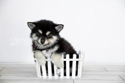 puppy105 week7 BowTiePomsky.com Bowtie Pomsky Puppy For Sale Husky Pomeranian Mini Dog Spokane WA Breeder Blue Eyes Pomskies Celebrity Puppy web2